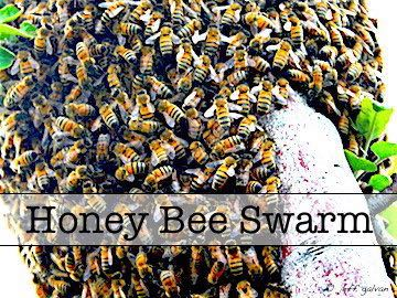 Honey Bee Swarm Relocation