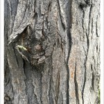honeylocust - Identify by Bark