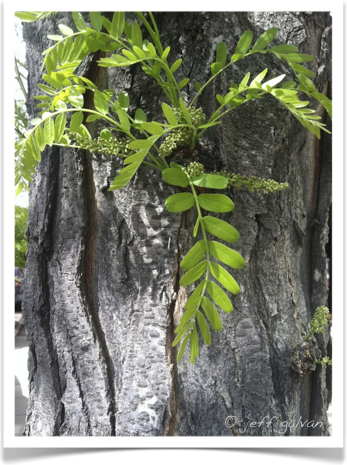 honey locust – Gleditsia triacanthos – Leaves and Bark ...