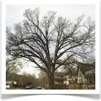 How to Identify a Bur Oak Tree