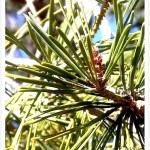 Pine, Scotch - needle-like leaves