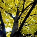 Littleleaf Linden ~ Branches