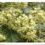 Maple, Rocky Mountain ~ Flowers