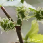 Mulberry Female Flowers