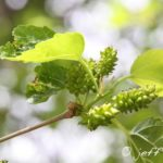 Mulberry leaves and fruit growing in late spring.