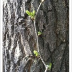 Mulberry - Identify by Bark