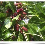 The bright, red mulberries are ready to be harvested and eaten!