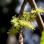 Mulberry tree's male flowers grow in small clusters.
