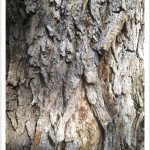 Narrowleaf Cottonwood - Identify by Bark