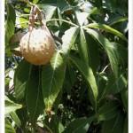 Buckeye, Ohio Fruit and Leaves