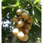 Buckeye, Ohio - Fruits