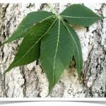 Buckeye, Ohio - Leaf
