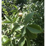 Ohio Buckeye Palmate Compound Leaves