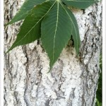 Ohio Buckeye Tree Identification by Bark and Leaf