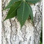 Ohio Buckeye Tree Identification by Bark and Leaf