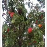 peaches ripe in tree