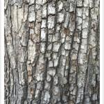 Pear - Identify by Bark