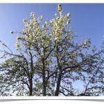 Pear - Bartlett - Pyrus communis - Bark