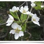 Pear - Bartlett - Pyrus communis - Flowers