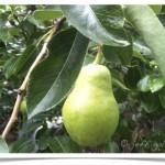 pear, bartlett - identify by fruit