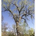 Plains Cottonwood - Populus sargentii - Tree