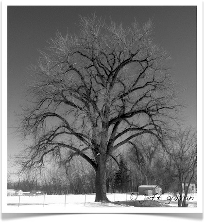 Plains Cottonwood - Populus sargentii