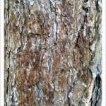 Ponderosa Pine - Identify by Bark