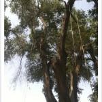 Pruning Siberian elms