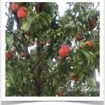 Pruning - Trimming Fruit Trees