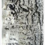 Quaking Aspen - Identify by Bark