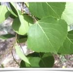 Quaking Aspen - identifying by leaf