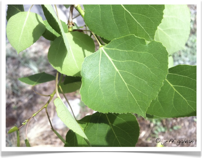 Quaking Aspen - Populas tremuloides - Leaves