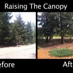 Raising the Canopy - Evergreens - Before & After