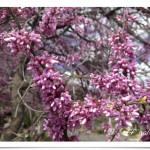 Eastern redbud trees have pretty little pinkish-purple flowers that bloom in the early spring. Their flowers explode right out of the dark bark, making it quite the sight to see.