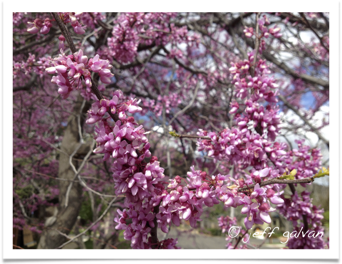 Eastern Redbud Flowers Boulder Tree Care Pruning