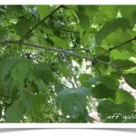 Maple, Rocky Mountain ~ Twig