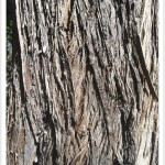 Russian-Olive - Identify by Bark