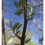 Russian-Olive - Elaeagnus angustifolia - Leaves - Twig -Thorns