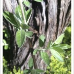 Russian-Olive - identifying by leaf