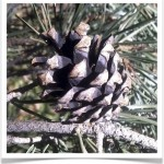 Scotch Pine Cone