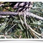 Scotch Pine Twig