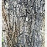 Siberian Elm - Identify by Bark