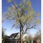 Siberian elm tree