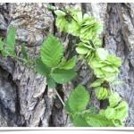 Siberian Elm - Ulmus pumila - Leaves, Seeds and Bark