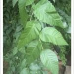 Siberian elm - Ulmus pumila - Leaves