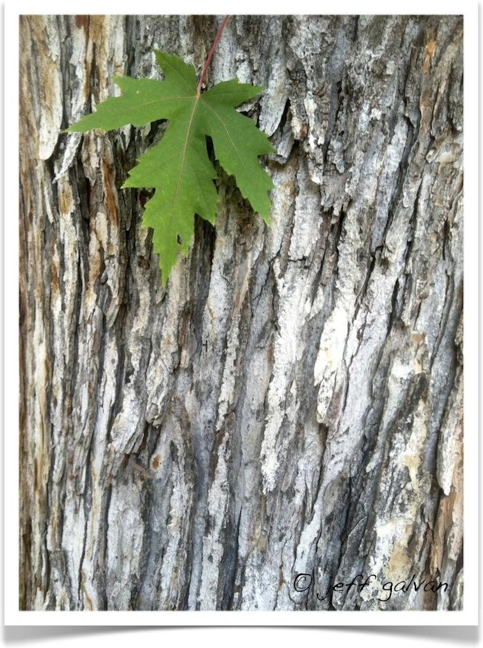 Silver Maple Leaf Bark Boulder Tree Care Pruning Tree