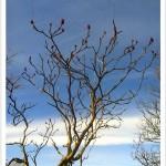 Staghorn Sumac Tree
