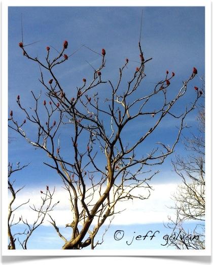 Staghorn Sumac Tree - Rhus typhina