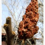 Staghorn Sumac Twig and Fruit