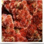 Sumac Fruit Detailed Image